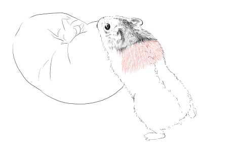 簡単イラストの描き方-ハムスターの書き方12