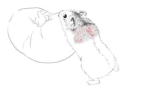 簡単イラストの描き方-ハムスターの書き方13