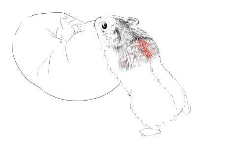 簡単イラストの描き方-ハムスターの書き方14