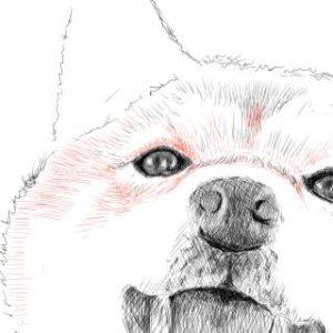 リアルな絵の描き方-柴犬のスケッチの書き方22-拡大