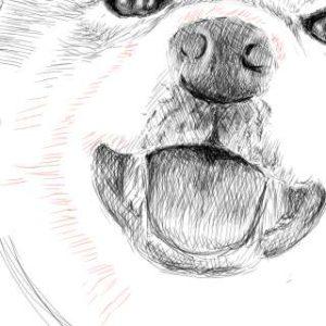 リアルな絵の描き方-柴犬のスケッチの書き方23-拡大