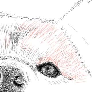 リアルな絵の描き方-柴犬のスケッチの書き方24-拡大