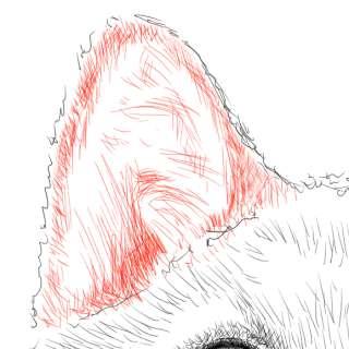リアルな絵の描き方-柴犬のスケッチの書き方26-拡大