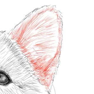 リアルな絵の描き方-柴犬のスケッチの書き方27-拡大