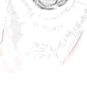 リアルな絵の描き方-柴犬のスケッチの書き方29-拡大