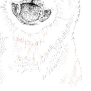 リアルな絵の描き方-柴犬のスケッチの書き方30-拡大