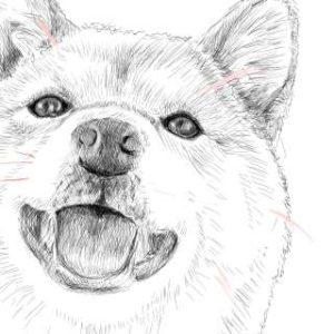 リアルな絵の描き方-柴犬のスケッチの書き方31-拡大