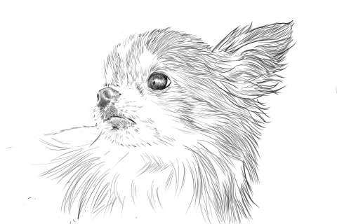 リアルな絵の描き方-チワワ犬の描き方12