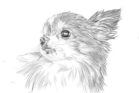 リアルな絵の描き方-チワワ犬の描き方14